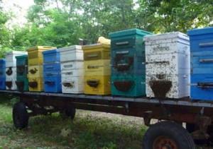Многие пчеловоды практикуют размещение кочевой пасеки прямо на передвигаемых платформах