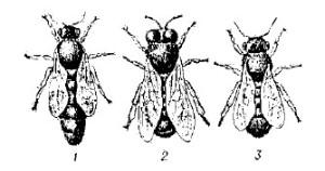 Три особи пчел: слева — матка; посредине — рабочая пчела; справа — трутень