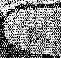 Расплод хорошей матки; из отдельных ячеек пчелы уже вывелись