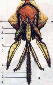 1 — верхние челюсти; 2 — щеки; 3 — усик; 4— сложные глаза; 5 — простые глаза; 6 — темя; 7 — лоб; 8 — клипеус; 9 — верхняя губа.