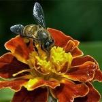 Пчелы в июне