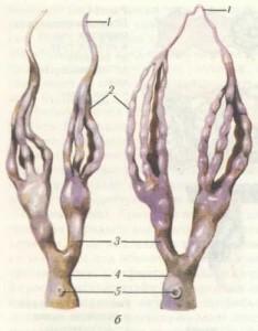 Половая система матки (а) и рабочей пчелы (б): 1 — яичники; 2 — яйцевые трубочки; 3 — парный яйцевод; 4 — непарный яйцевод; 5 — семяприемник; 6 — придаточная железа; 7 — влагалище.