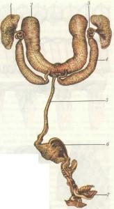 Половая система трутня: 1 — семенники; 2 — придаточные железы; 3 — семяпроводы; 4 — семенные пузырьки; 5 — семяизвергательный канал; 6 — луковица; 7 — рожки.