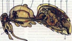 """Слюнные железы и пищевой канал пчелы: 1 мандибулярные железы (верхнечелюстные); 2 — глотка; 3 — подглоточные железы (гипофарингеталъные); 4 —заднеголовные железы; 5 — проток заднеголовной и грудных желез; 6 — грудные железы; 7 — резервуар грудной железы; 8 — пищевод; 9 — медовый зобик"""", 10— средняя кишка; 11 — мальпигиевые сосуды; 72 — тонкая кишка; 13 — толстая кишка; 14 — ректальные железы."""