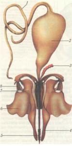 Жалоносный аппарат пчелы:J — большая ядовитая железа; 2 — резервуар ядовитой железы;3 — малая ядовитая железа;4 — щупики жала;5 — стилеты;6 — квадратная пластинка;7 — продолговатая пластинка;8 — трехугольная пластинка.