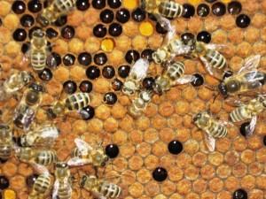 Болезни пчел