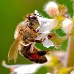 Пища пчел