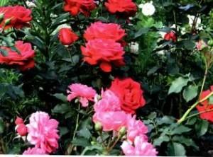 Укрытие роз к зиме