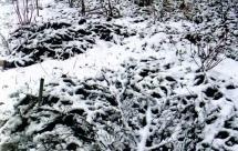 Розы под снегом