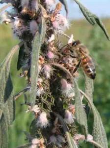 Пчела на пустырнике