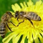 Как объединить две пчелосемьи