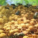 Пчелосемья трутовка
