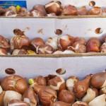 Условия хранения луковичных зимой