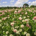 Фазы спелости семян бобовых трав