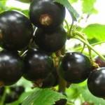 Сорта черной смородины