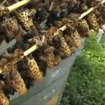 Вывод пчелиных маток в сентябре