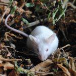 Борьба с мышами в огороде и саду