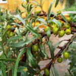 Необычное растение — облепиха