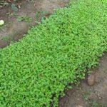 Сидераты на грядку или зеленые удобрения в помощь