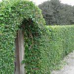 Живые изгороди и ограды