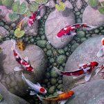 Карпы кои – очарование искусственного водоема
