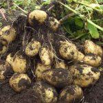 Как сохранить картофель на огороде?