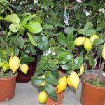 Как посадить косточку лимона?