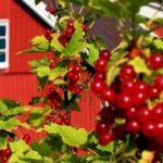 Выбираем ягодные культуры для дачи