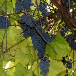 Птичий виноград – живая изгородь!