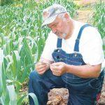 Как выращивается чеснок