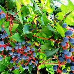 Хранение винограда в домашних условиях