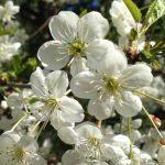 Что делать, если вишня не плодоносит