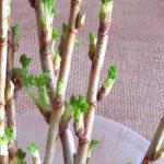 Выращивание смородины из черенков: все способы и средства
