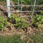Посадка смородины осенью черенками