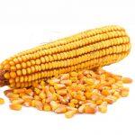 Заготовка силоса из кукурузы сорта Лимагрен