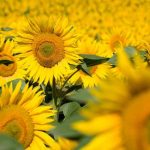 Технология защиты урожайности от компании Лимагрен