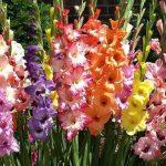 Как выбрать и посадить гладиолусы правильно