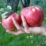 Сорт яблони Апорт красный