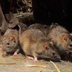 5 популярных способов избавиться от мышей и крыс – работают ли они?