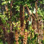 Выращивание пустырника из семян