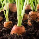 Подзимний посев моркови: основные тонкости и схема посадки