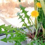 Выгонка зелени одуванчика зимой в домашних условиях