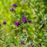 Люцерна – особенности выращивания, применение и характеристики