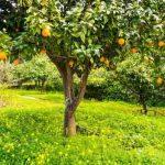 Как посадить апельсин на даче