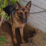 Почему собаки роют ямы во дворе?
