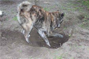 Почему собаки роют ямы во дворе