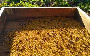 Весенняя подкормка пчел пыльцой