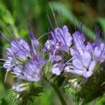 Фацелия: как выращивать и использовать красивый и полезный цветок?
