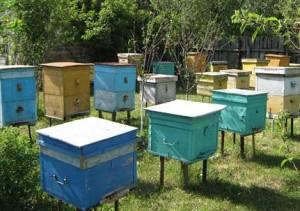 Пасека - оборудованное место, где содержатся медоносные пчёлы.