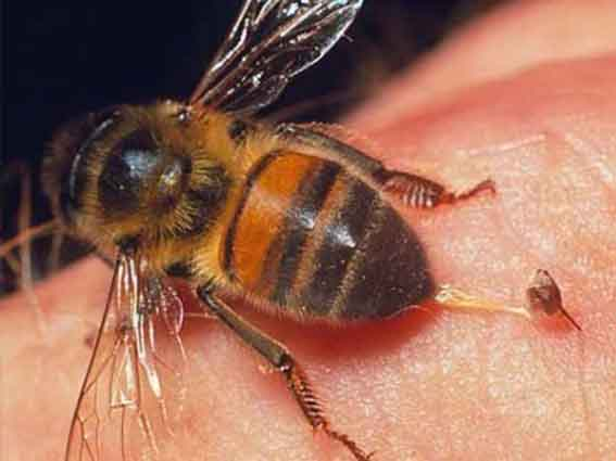 есть ли аллергия на чихуахуа мини